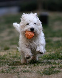 white terrier running with ball in mouth